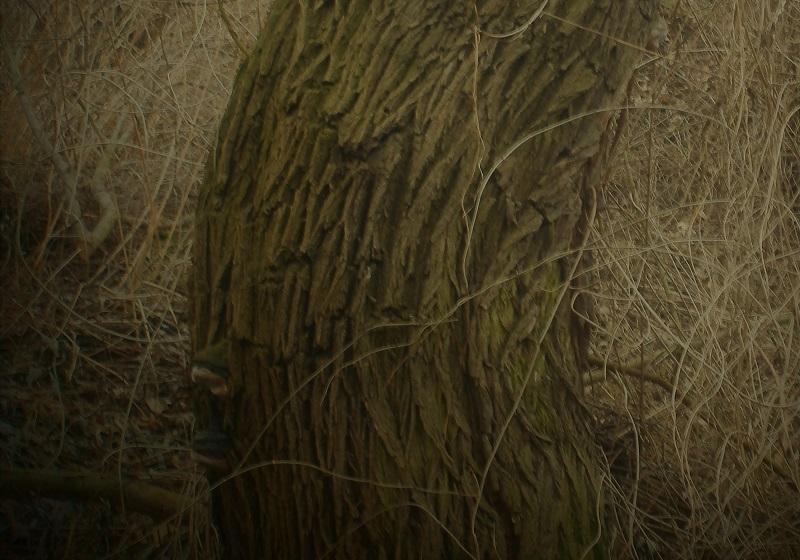 zjizvená kůra stromu